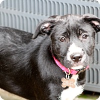 Adopt A Pet :: Daisy - Norwalk, CT
