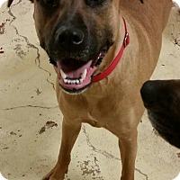 Boxer/German Shepherd Dog Mix Dog for adoption in Struthers, Ohio - Mahina 1 YR OLD