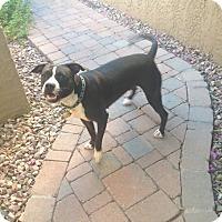 Adopt A Pet :: Daisy - Chandler, AZ