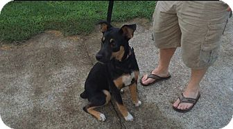 Rottweiler/Australian Cattle Dog Mix Dog for adoption in Waynesboro, Tennessee - Simone