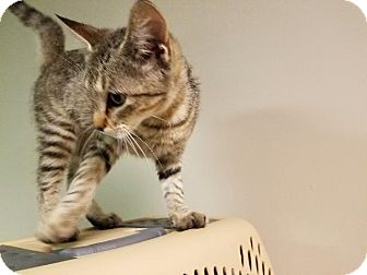 Domestic Shorthair Cat for adoption in Spring, Texas - Tootle