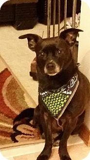 Rat Terrier Mix Dog for adoption in McKenna, Washington - Baron