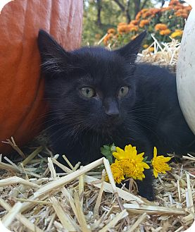 Domestic Shorthair Kitten for adoption in Oakland, Michigan - Kahlua - I love to cuddle!