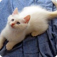 Adopt A Pet :: Nanuk - St. Louis, MO