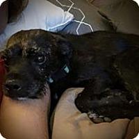 Adopt A Pet :: Chase - El Paso, TX