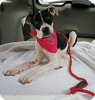 Pointer/Border Collie Mix Dog for adoption in Tempe, Arizona - Willow