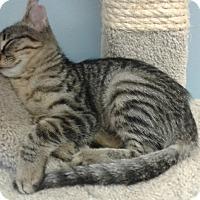 Domestic Shorthair Kitten for adoption in Lake Charles, Louisiana - Maci