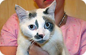 Domestic Shorthair Cat for adoption in Wildomar, California - Pierce