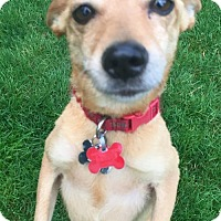 Adopt A Pet :: Darling - She's All That! - Seattle, WA