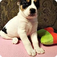 Adopt A Pet :: Duchess - Kimberton, PA