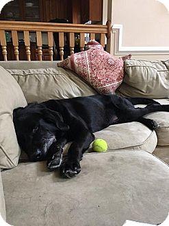 Labrador Retriever Dog for adoption in Fairfax, Virginia - Dozer #2