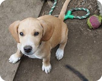 Rocky | Adopted Puppy | Montgomery City, MO | Beagle ...