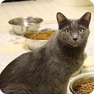 Domestic Shorthair Cat for adoption in Denver, Colorado - Niyama