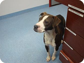 American Pit Bull Terrier Mix Dog for adoption in Gainesville, Florida - Darla