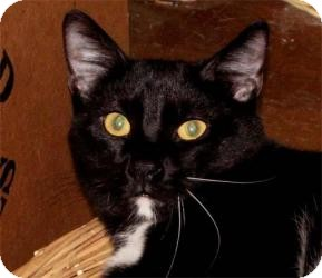 Domestic Shorthair Cat for adoption in Milford, Ohio - Maynard
