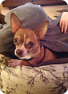 Chihuahua Mix Dog for adoption in Seattle, Washington - Brandon