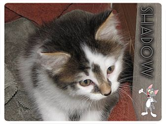 Domestic Shorthair Kitten for adoption in Washington, D.C. - Shadow