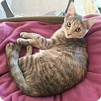 Domestic Shorthair Kitten for adoption in LaGrange, Kentucky - Dove