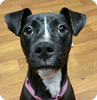Lisbon, OH - Boston Terrier/Whippet Mix. Meet Penny a Dog ...