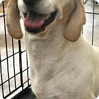 Adopt A Pet :: Bridgette - Phoenix, AZ