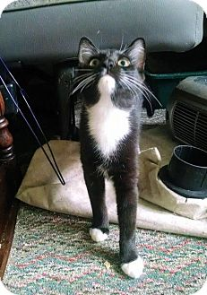 Domestic Mediumhair Cat for adoption in Rock Hill, South Carolina - vespa