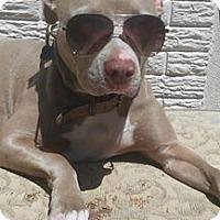 Adopt A Pet :: GREY - Malibu, CA