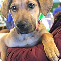 Adopt A Pet :: Carolina - Mt. Prospect, IL