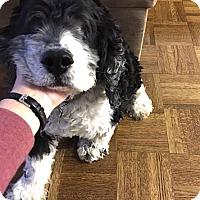 Cocker Spaniel Dog for adoption in Flushing, New York - Eddie