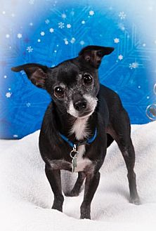 Chihuahua Dog for adoption in Elizabethtown, Pennsylvania - Marley Rhoades