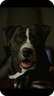 Staffordshire Bull Terrier Mix Dog for adoption in Houston, Texas - Mauricio