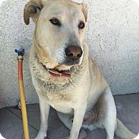 Golden Retriever/Labrador Retriever Mix Dog for adoption in Irvine, California - Kobe