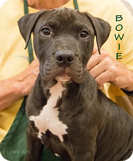 Pit Bull Terrier Mix Puppy for adoption in Patterson, California - Bowie