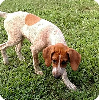 English (Redtick) Coonhound/Coonhound Mix Puppy for adoption in Atlanta, Georgia - Panini