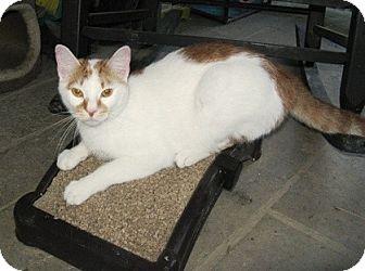 Domestic Shorthair Kitten for adoption in Somerset, Kentucky - Fred