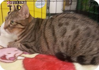 Bengal Cat for adoption in Dallas, Texas - Cossette