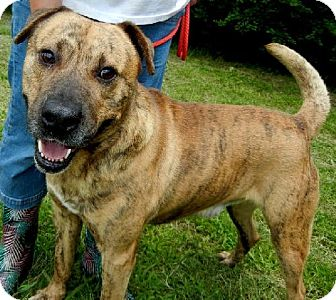 Mastiff Mix Dog for adoption in Anniston, Alabama - Brady