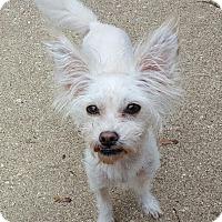 Adopt A Pet :: Stewie - Rockford, IL