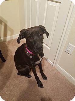 Boxer Dog for adoption in Austin, Texas - Baltia