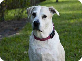 Labrador Retriever Mix Dog for adoption in West Palm Beach, Florida - DIXIE