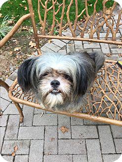 Shih Tzu/Pekingese Mix Dog for adoption in Paramus, New Jersey - LUNA