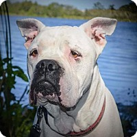 American Bulldog Dog for adoption in Plant City, Florida - Chevy
