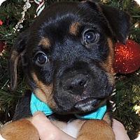Adopt A Pet :: Buddy - Frisco, TX