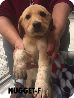 Shepherd (Unknown Type) Mix Puppy for adoption in Southington, Connecticut - Nugget (has been adopted)
