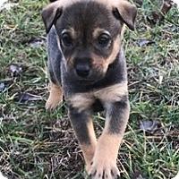 Adopt A Pet :: Brady - Holly Springs, NC
