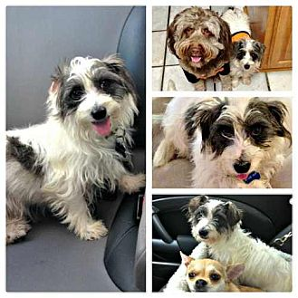 Maltese/Cairn Terrier Mix Dog for adoption in Houston, Texas - Marty