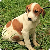 Adopt A Pet :: Lambchop (In New England) - Brattleboro, VT