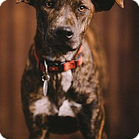 Adopt A Pet :: Cupid - Portland, OR