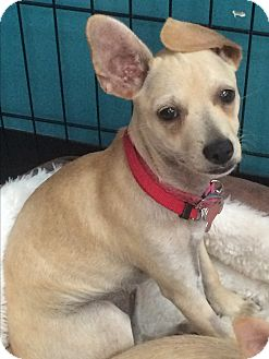Chihuahua Mix Puppy for adoption in Thousand Oaks, California - Gretel