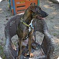 Adopt A Pet :: Harley - Covington, LA