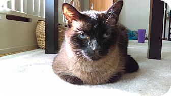 Siamese Cat for adoption in St Paul, Minnesota - Evie